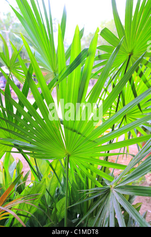 Chit Palm ree leaves in Yucatan rainforest mexico central america - Stock Photo