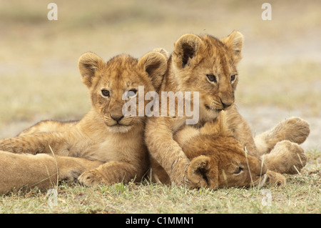 Stock photo of lion cubs playing. - Stock Photo
