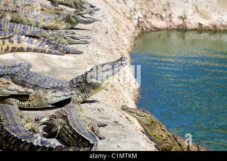 Nile crocodiles being fed chicken at Le Bonheur Crocodile Farm near Stellenbosch, South Africa.( Crocodylus niloticus)