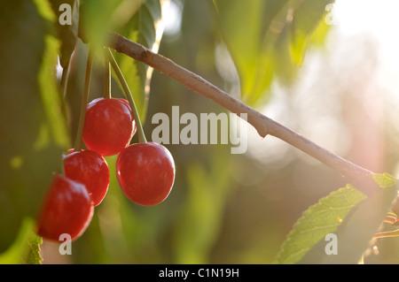 Ripe cherries on tree - Stock Photo