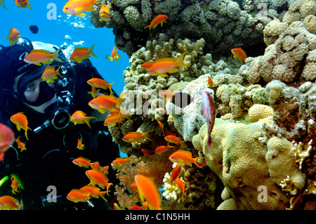 Scuba diver watching anthias fish on coral reef, Red Sea - Stock Photo