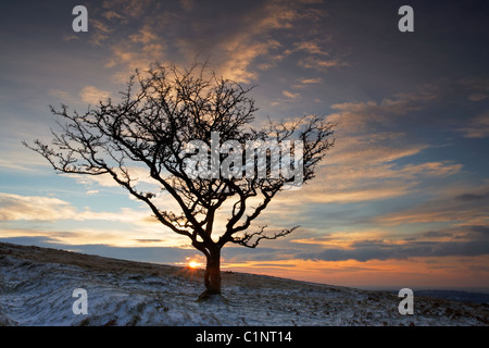 Hawthorn tree against dusky sunset sky in Winter on Dartmoor Devon UK - Stock Photo