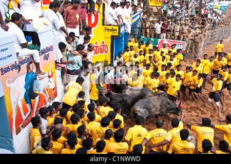 Jallikattu bull taming event during the Pongal Festival event in village of Alanganallur - Stock Photo