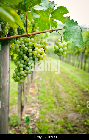 White Grapes in a Vineyard in Wachau, Austria - Stock Photo