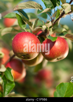 Apples on branch, close-up - Stock Photo
