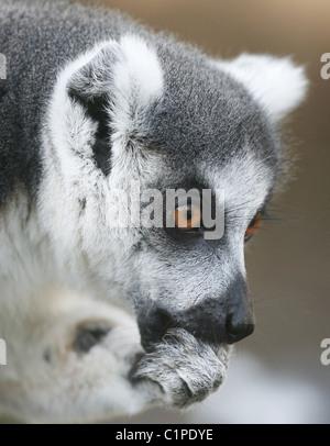 Thinking lemur! Close-up of a ring-tailed lemur, Paradise Wildlife park, Broxbourne, England. - Stock Photo