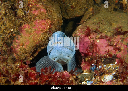 Atlantic wolffish, Atlantic Catfish, seawolf, ocean catfish, devil fish, wolf eel or Cat-fish (Anarhichas lupus) - Stock Photo