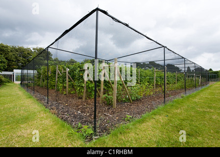 Protection cage around soft fruit trees & bushes. Wisley gardens / RHS / Royal Horticultural Society Headquarters - Stock Photo