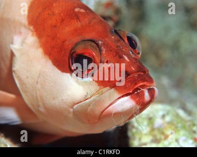 Striped grouper (Epinephelus fasciatus), Red sea, Egipt - Stock Photo