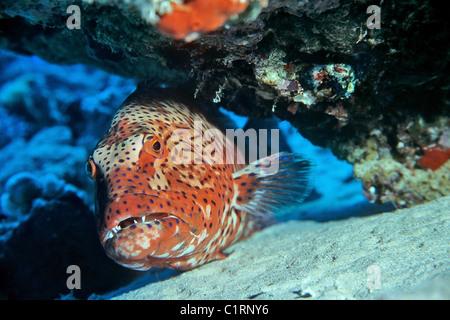 Leopard grouper (Plectropomus pessuliferus) - Stock Photo