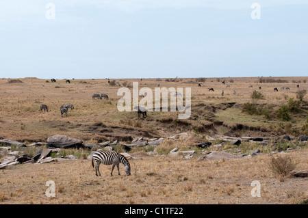 Kenya, Masai Mara National Reserve, Plains Zebra (Equus quagga) grazing on savannah - Stock Photo