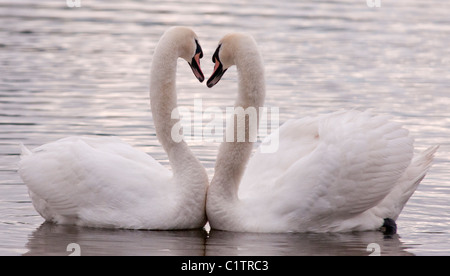 Courting mute swans in Scotland - Stock Photo