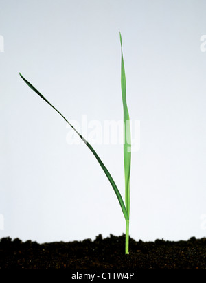 Wild Oat (Avena fatua) young plant with two leaves - Stock Photo