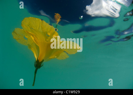 A bright yellow hibiscus floats in the waters somewhere around the Hawaiian Islands. - Stock Photo