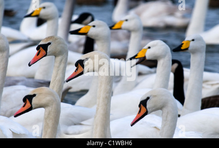 a study of mute and whooper swans,  solway firth, scotland - Stock Photo
