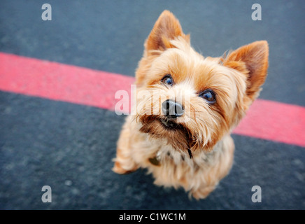 Yorkshire terrier dog on its hind legs looking up at camera. Standing on black asphalt with a red line. - Stock Photo