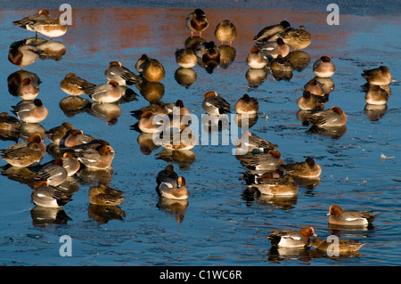 a group of wigeon in icy water during winter on the solway firth scotland anas penelope - Stock Photo