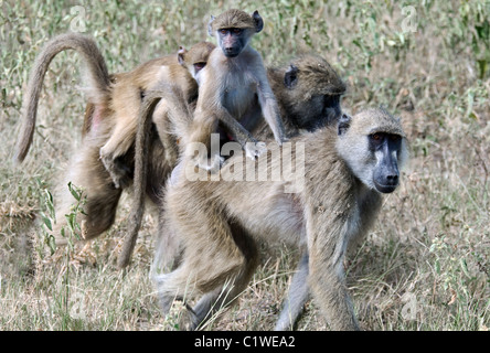 baboon family near the chobe river in botswana