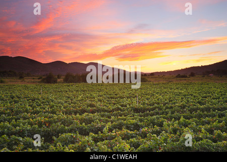 Vineyard at sunset in island Korcula. - Stock Photo