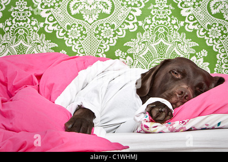 Chocolate Labrador Sleeping in Bed - Stock Photo