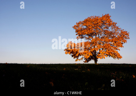 Yellow tree and green grass at autumn - Stock Photo