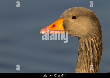 Grey Lag Goose. Ariser anser (Anatidae) Head Close-up