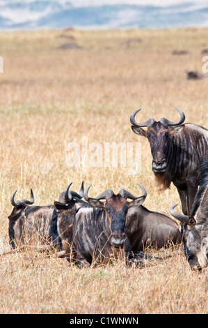 Wildebeest, Connochaetes taurinus, Masai Mara National Reserve, Kenya, Africa - Stock Photo