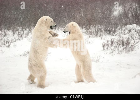 Polar Bears, Ursus maritimus, play fighting, Churchill, Manitoba, Canada - Stock Photo