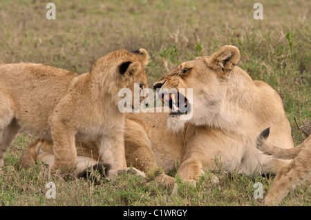 Stock photo of a lion cub being warned by his mom. - Stock Photo