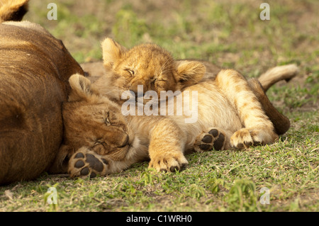 Stock photo of two lion cubs sound asleep, cuddled up behind their mom.