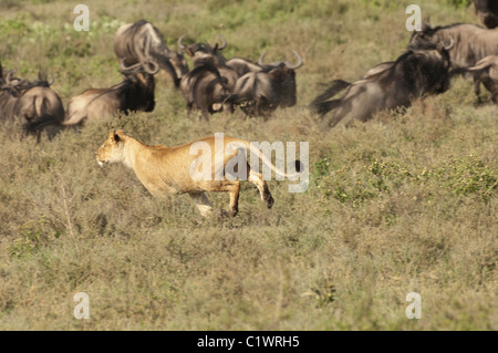 Stock photo of a lioness chasing a group of wildebeest. - Stock Photo
