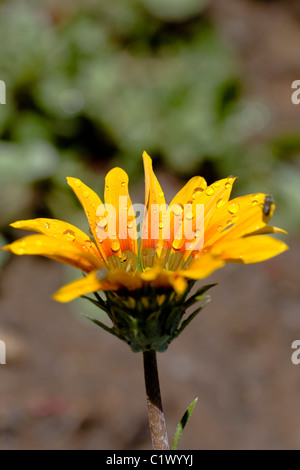 View of a gazania flower on the garden covered with droplets of water. - Stock Photo