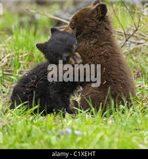 Black bear cubs wrestling - Stock Photo