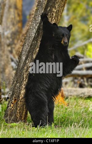Black Bear Scratching Tree - Stock Photo