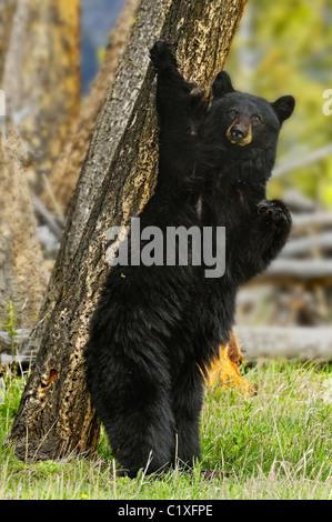 Standing black bear - Stock Photo
