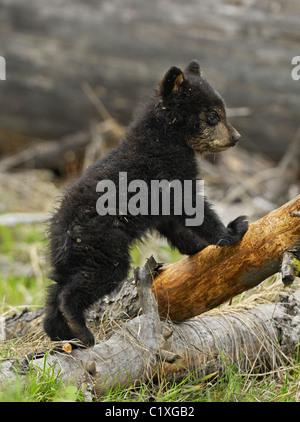 A black bear cub standing - Stock Photo