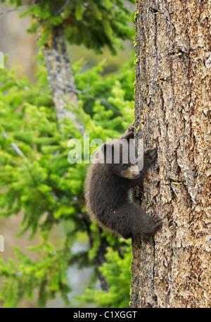Tiny Cinnamon Black Bear - Stock Photo