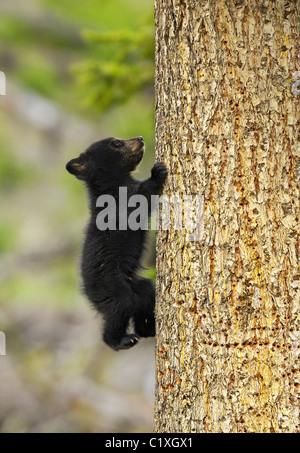 Baby black bear climbing a tree - Stock Photo