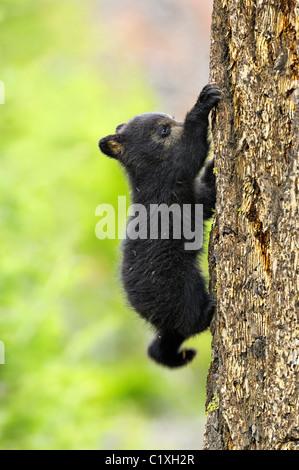 Black Bear (Ursus americanus). Yellowstone National Park, Wyoming, USA. Spring 2008. A tiny black bear cub climbing - Stock Photo