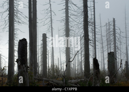 Norway Spruce Picea abies forest and infestation of Spruce Bark Beetle Bavarian Forest National Park Germany - Stock Photo