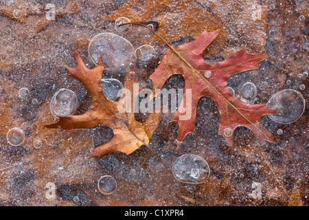 Pin Oak Quercus leaves frozen in ice with trapped bubbles Michigan USA - Stock Photo