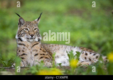 European lynx - Stock Photo