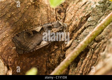 Setaceous Hebrew Character (Xestia c-nigrum) moth - Stock Photo