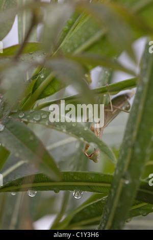 Praying mantis (Mantis religiosa) - Stock Photo