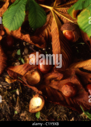 Horse chestnut leaves and conkers in Autumn. Britain.UK - Stock Photo