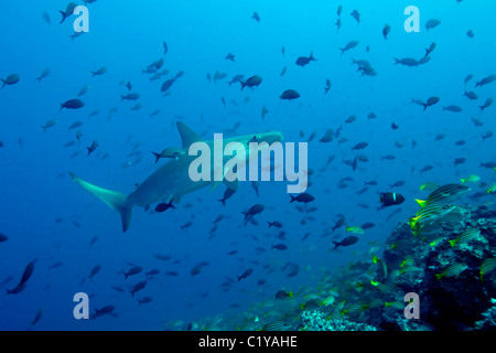 A scalloped hammerhead shark (Sphyma lewini) swims through a school of tropical fish at the Cocos Island off the - Stock Photo