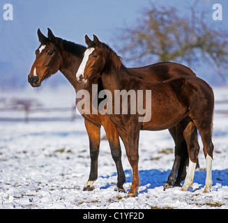 Holstein horse - mare and foal in snow - Stock Photo
