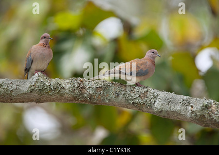 Laughing Dove (Spilopelia senegalensis, Streptopelia senegalensis). Two adults perched on a branch - Stock Photo