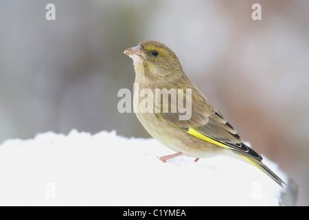 European Greenfinch in snow / Carduelis chloris - Stock Photo