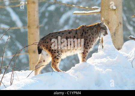 Eurasian lynx in snow / Lynx lynx - Stock Photo